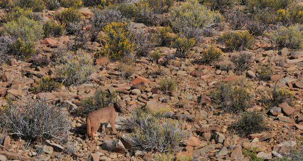 Caracal - Copyright The Karoo Predator Project, University of Cape Town